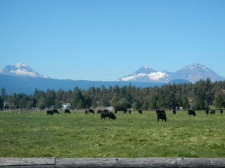 Cows and 10,000' peaks